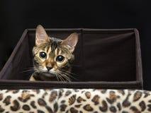 Stående för Bengal kattnärbild på en svart bakgrund Arkivbild