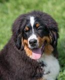 Stående för Bouvier Bernese berghund i utomhus Fotografering för Bildbyråer