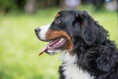 Stående för Bouvier Bernese berghund i utomhus Arkivbild