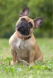 stående för bulldogghundfransman Royaltyfri Fotografi