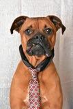Stående för dag för ` s för valentin för boxareavelhund royaltyfri fotografi