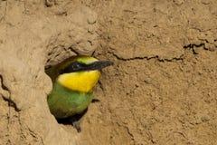 Stående för fågelunge för europébiEater royaltyfria foton