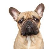 stående för fokus för bulldoggdof-ögon grund fransk Arkivbilder