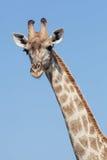 stående för hals för bakgrundsgiraffhuvud Royaltyfria Foton