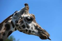 stående för hals för bakgrundsgiraffhuvud Royaltyfri Bild