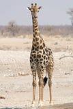 stående för hals för bakgrundsgiraffhuvud Arkivbild