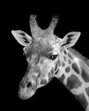 stående för hals för bakgrundsgiraffhuvud Fotografering för Bildbyråer
