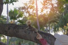 Stående för handen för kvinna` som s ger jordnöten till ekorren, som är mummel Arkivfoto