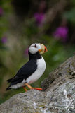 Stående för Horned lunnefågel Royaltyfri Bild