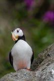 Stående för Horned lunnefågel Royaltyfria Foton