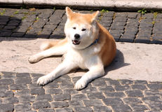 stående för inu för hund för akita bakgrundsclose upp white Arkivbilder