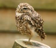 stående för liten owl Arkivbild