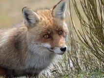 Stående för röd räv (Vulpesvulpes) arkivfoton