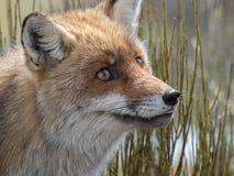 Stående för röd räv (Vulpesvulpes) arkivbild