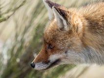 Stående för röd räv (Vulpesvulpes) fotografering för bildbyråer