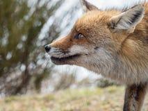 Stående för röd räv (Vulpesvulpes) arkivbilder