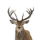 Stående för röda hjortar Arkivbilder