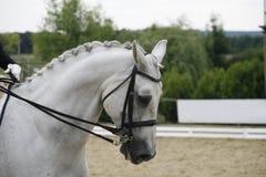 Stående för sidosikt av en härlig grå dressyrhäst under wor Royaltyfri Bild