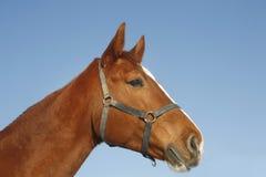Stående för sidosikt av en härlig ung kastanjebrun häst fotografering för bildbyråer