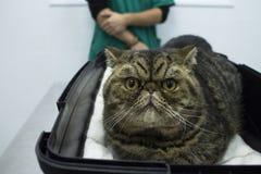 Stående för strimmig kattkatt Royaltyfria Bilder