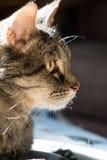 Stående för strimmig kattkatt arkivfoton
