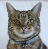 Stående för strimmig kattkatt arkivfoto