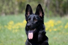 stående för svart hund Arkivfoton