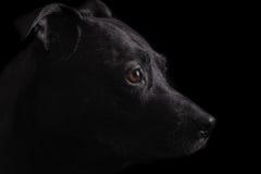 Stående för svart hund Royaltyfria Bilder