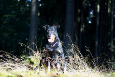 stående för svart hund Arkivfoto