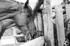 Stående för svart & vit häst royaltyfria foton