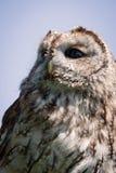Stående för Tawny owl Royaltyfri Fotografi