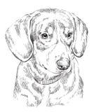 Stående för teckning för hand för vektor för Entlebucher berghund Fotografering för Bildbyråer
