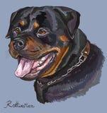 Stående för teckning för Rottweiler färgrik vektorhand Fotografering för Bildbyråer