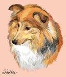 Stående för teckning för Sheltie färgrik vektorhand Arkivbild