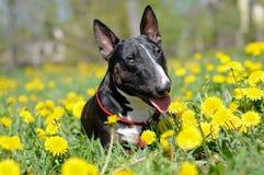 Stående för tjurterrierhund i maskrosor royaltyfri bild