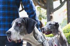 Stående för två hundkapplöpning för stora danskar på en parkera fotografering för bildbyråer