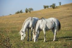 Stående för två vita hästar på naturlig bakgrund arkivfoton