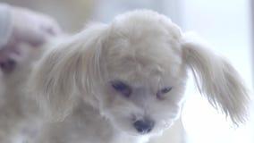 Stående för varvhund stock video