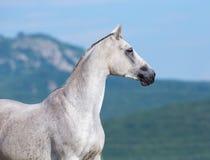 Stående för vit häst, arabisk häst Arkivbild