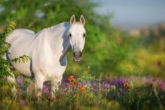Stående för vit häst i blommor royaltyfri foto