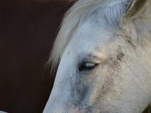 Stående för vit häst med ledsna ögon Royaltyfria Bilder