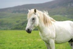 Stående för vit häst och en naturbakgrund Arkivbild