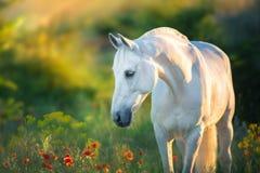 Stående för vit häst på solnedgången royaltyfri foto