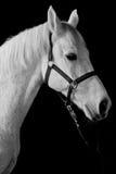 Stående för vit häst som isoleras på svart Arkivbilder