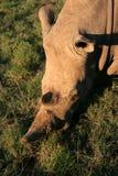Stående för vit noshörning från över med grönt gräs royaltyfri bild