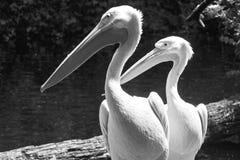 Stående för vita pelikan Fotografering för Bildbyråer