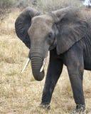 Stående frontview för elefant Arkivfoton