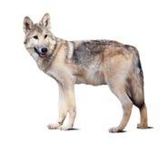 Stående grå varg Fotografering för Bildbyråer