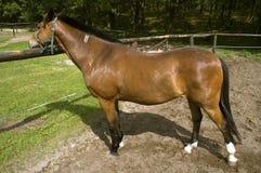 Stående häst Arkivbild
