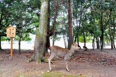 Stående hjortar i trädgård Arkivfoto